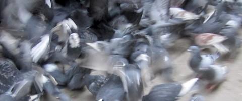 pigeons_small