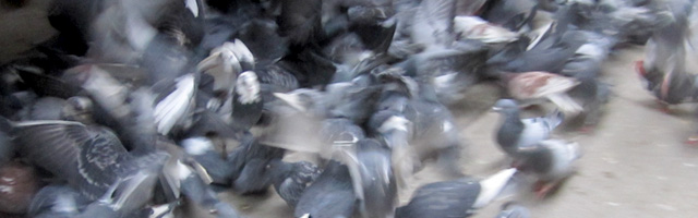 pigeons_small